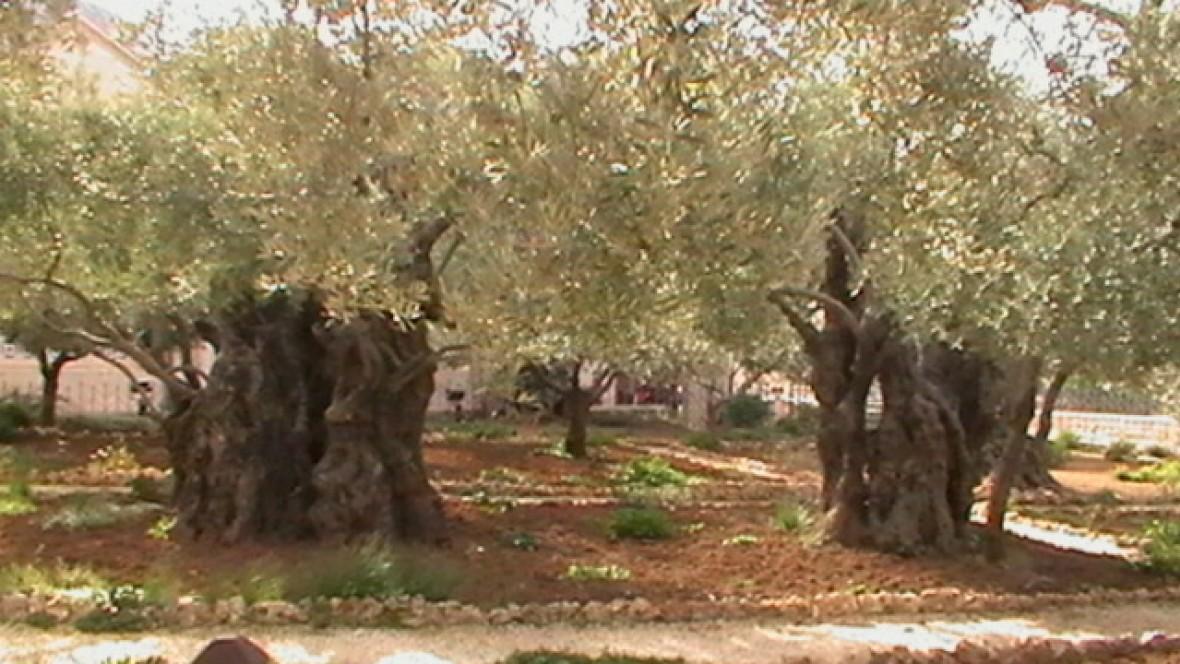 Olivo de Getsemaní